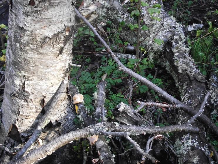 Bosque de lenga afectado por castor noreamericano, especie invasora